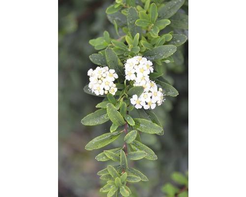 Spirée FloraSelf Spiraea nipponica ''Snowmound'' H100-125 cm Co 15 L-0