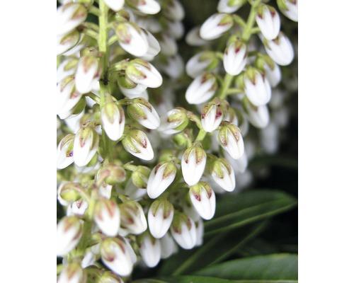 """Schattenglöckchen FloraSelf Pieris japonica """"Debutante"""" H 40-50 cm Co 6 L"""