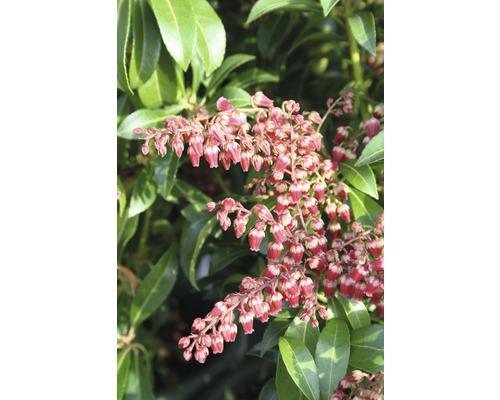 """Schattenglöckchen FloraSelf Pieris japonica """"Passion""""® H 40-50 cm Co 6 L"""
