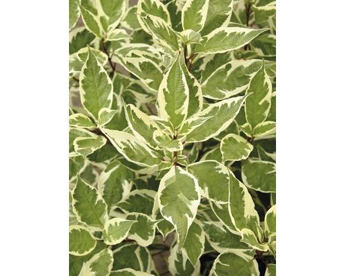 Cornouiller FloraSelf Cornus alba ''Ivory Halo''® H100-125 cm Co 15 L