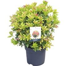 "Schattenglöckchen FloraSelf Pieris japonica ""Mountain Fire"" H 40-50 cm Co 6 L-thumb-0"