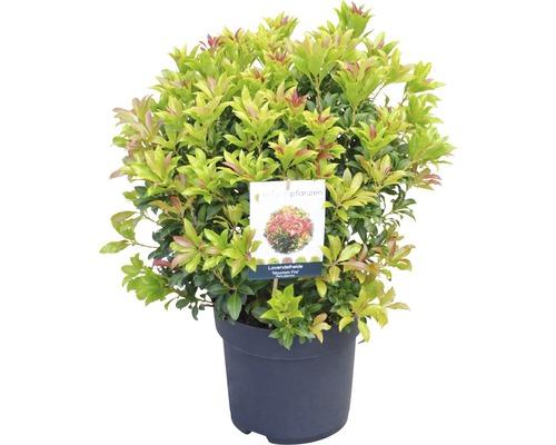 "Schattenglöckchen FloraSelf Pieris japonica ""Mountain Fire"" H 40-50 cm Co 6 L-0"