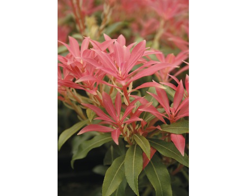 """Schattenglöckchen FloraSelf Pieris japonica """"Forest Flame"""" H 40-50 cm Co 6 L"""