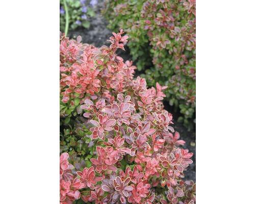 Berbéris nain FloraSelf Berberis thunbergii ''Admiration''® H40-50 cm Co 15 L