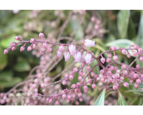 japanische Lavendelheide FloraSelf Pieris japonica ''Ralto Rose'' H 40-50 cm Co 6 L