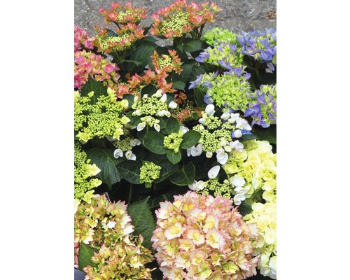 Hortensia FloraSelf Hydrangea macrophylla ''Rendezvous'' h 30-40 cm Co 5 l