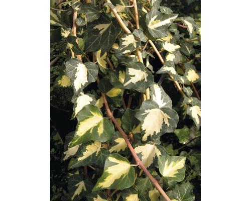 Efeu Spalier FloraSelf Hedera helix ''Goldheart'' H ca. 80 cm Co 6 L