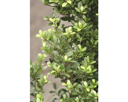 Houx crénelé Kugel FloraSelf Ilex crenata ''Stokes'' H30-35 cm Co 6,5 L