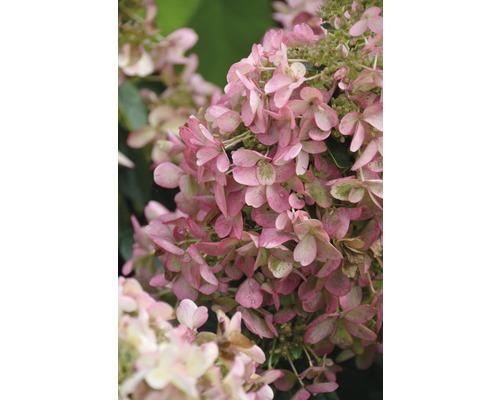 Hortensia paniculé FloraSelf Hydrangea paniculata ''Wim´s Red'' ®h 80-100 cm Co 10 l