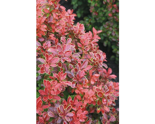 Épine-vinette FloraSelf Berberis thunbergii ''Admiration'' H20-25 cm Co 2,8 L