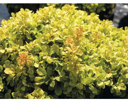 Épine-vinette FloraSelf Berberis thunbergii ''Golden Nugget'' H20-25 cm Co 2,8 L