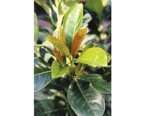 Kirschlorbeer FloraSelf Prunus laurocerasus ''Etna'' H 30-40 cm Co 2,8 L