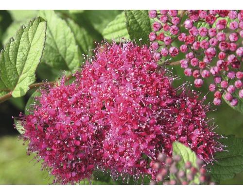 Spierstrauch FloraSelf Spiraea japonica ''Superstar'' H 30-40 cm Co 2,8 L