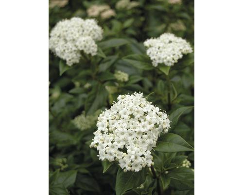 Mittelmeer - Schneeball FloraSelf Viburnum tinus H 30-40 cm Co 2,8 L