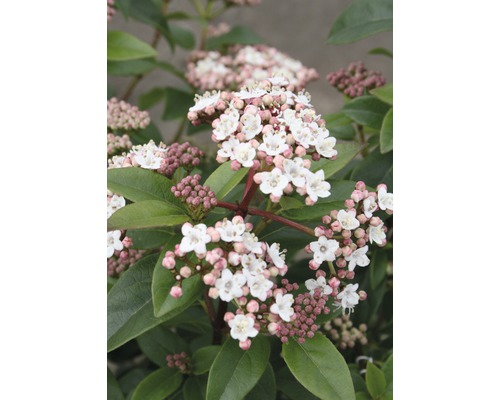 Mittelmeer - Schneeball FloraSelf Viburnum tinus ''Eve Price'' H 30-40 cm Co 2,8 L