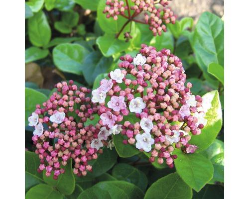 Mittelmeer - Schneeball FloraSelf Viburnum tinus ''Lisarose'' H 30-40 cm Co 2,8 L
