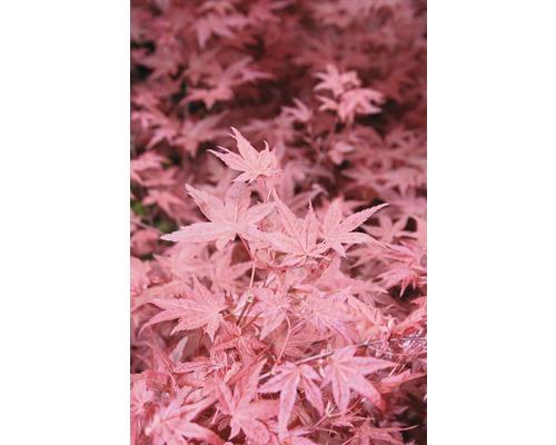 Érable palmé FloraSelf Acer palmatum ''Beni-Maiko'' H40-60 cm Co 4,5 L