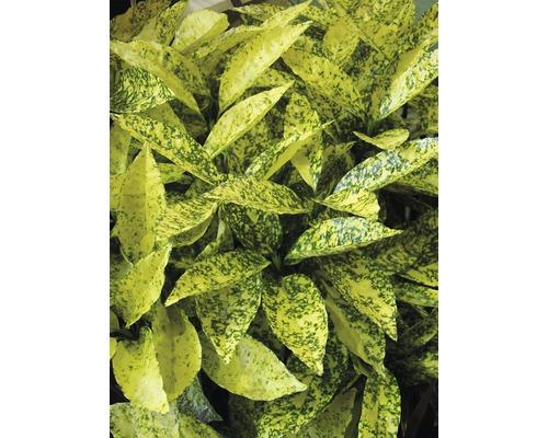 Aucube FloraSelf Aucuba japonica ''Crotonifolia'' H 40-50 cm Co 4,5 L