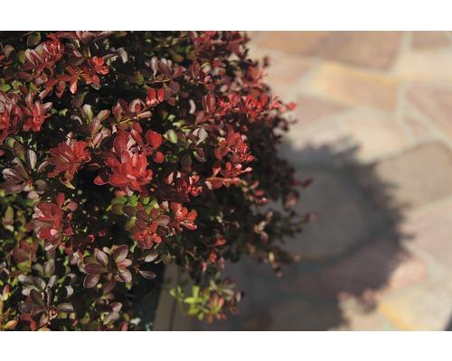 Berberitze FloraSelf Berberis thunbergii ''Atropurpurea Nana'' H 30-40 cm Co 4,5 L