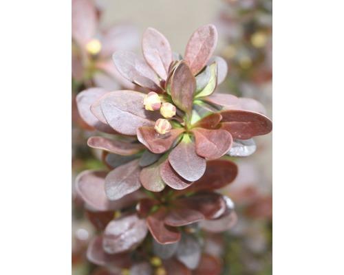 Épine-vinette FloraSelf Berberis thunbergii ''Helmond Pillar'' H30-40 cm Co 4,5 L
