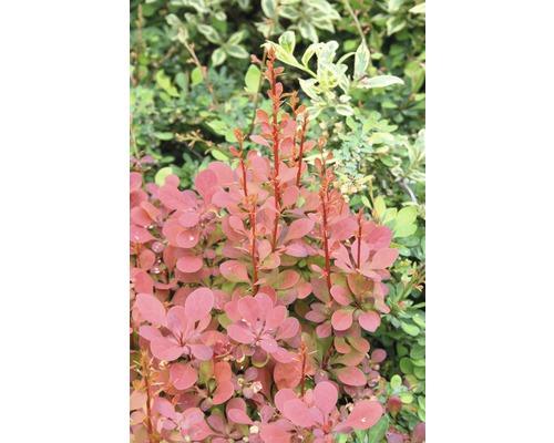 Épine-vinette FloraSelf Berberis thunbergii ''Ornage Rocket''® H30-40 cm Co 4,5 L