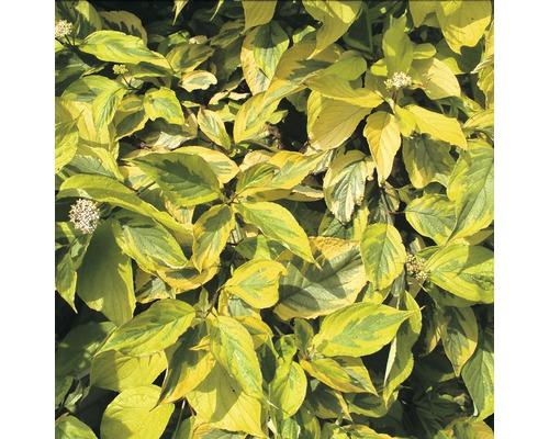Cornouiller FloraSelf Cornus alba ''Spaethii'' H50-60 cm Co 4,5 L