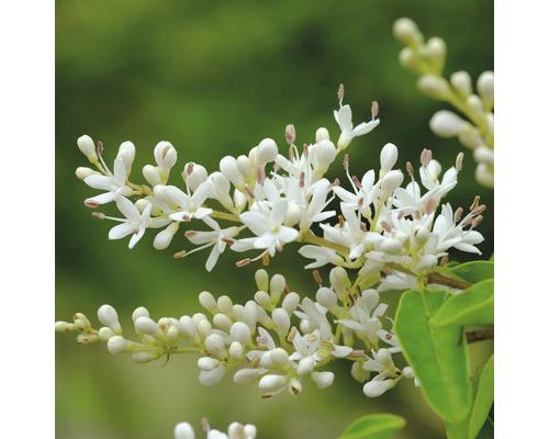 Troène FloraSelf Ligustrum vulgare ''Atrovirens Select'' h 50-60 cm Co 4,5 l