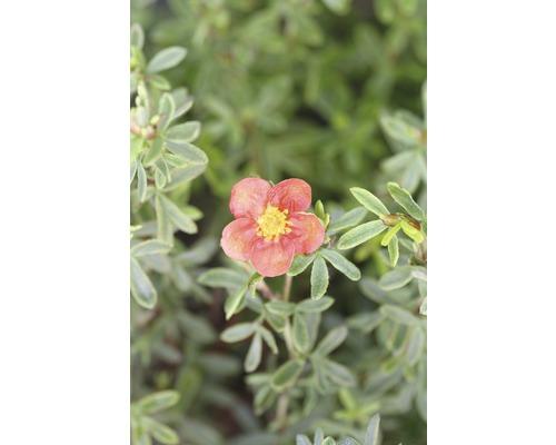 Potentille frutescente FloraSelf Potentilla fruticosa ''Red Lady'' H30-40 cm Co 4,5 L