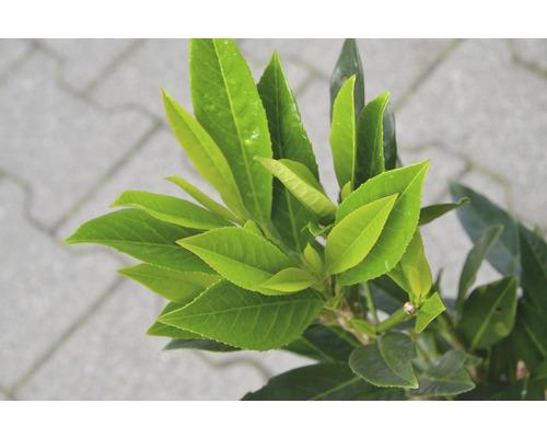 Kirschlorbeer FloraSelf Prunus laurocerasus ''Renault Ace'' H 60-80 cm Co 6 L