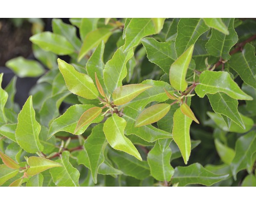 portugiesischer Kirschlorbeer FloraSelf Prunus lusitanica ''Brenelia'' H 60-80 cm Co 6 L