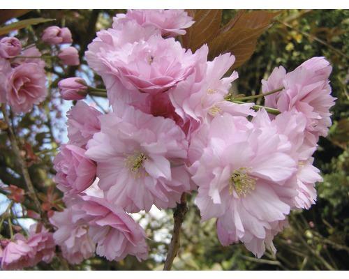 Nelkenkirsche FloraSelf Prunus serrulata ''Kanzan'' H 80-100 cm Co 6 L