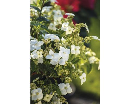 Hortensia parfumé FloraSelf Hydrangea angustifolia ''Golden Crane'' h 40-50 cm Co 6 l