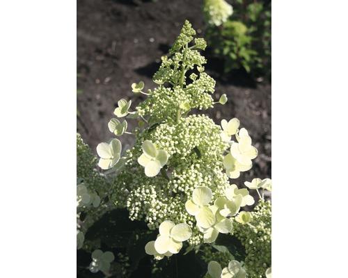 Hortensia paniculé FloraSelf Hydrangea paniculata ''Magical Himalaya'' h 50-60 cm Co 6 l