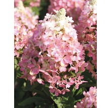 Rispenhortensie FloraSelf Hydrangea paniculata ''Magical Vesuvio'' H 50-60 cm Co 6 L-thumb-0