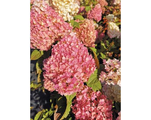 Hortensia paniculé FloraSelf Hydrangea paniculata ''Pinky Winky'' H40-60cm Co 6 l