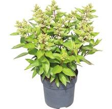 Rispenhortensie FloraSelf Hydrangea paniculata ''Magical Vesuvio'' H 50-60 cm Co 6 L-thumb-1