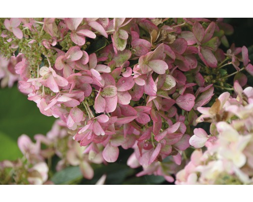 Hortensia paniculé FloraSelf Hydrangea paniculata ''Wim''s Red'' h 50-60 cm Co 6 l