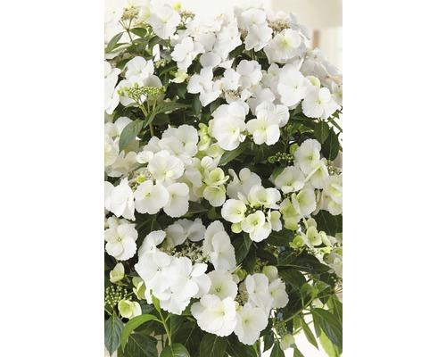Hortensia guirlande FloraSelf Hydrangea Runaway Bride ® ''Snow White'' h 50-60 cm Co 6 l Édition 30 ans FloraSelf