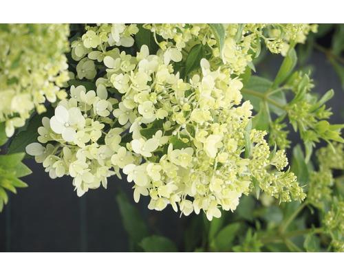 Hortensia paniculé FloraSelf Hydrangea paniculata ''Magical Matterhorn'' h 50-60 cm Co 6 l