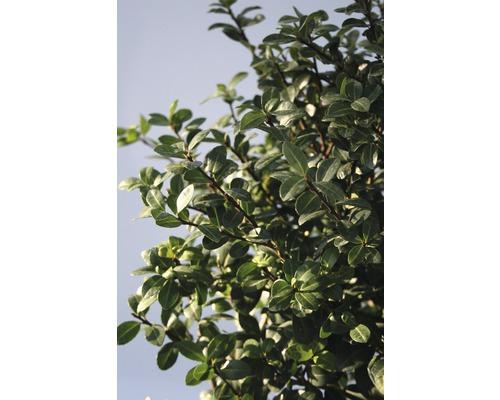 Houx crénelé FloraSelf Ilex crenata ''Rotundifolia'' H25-30 cm Co 4,5 L