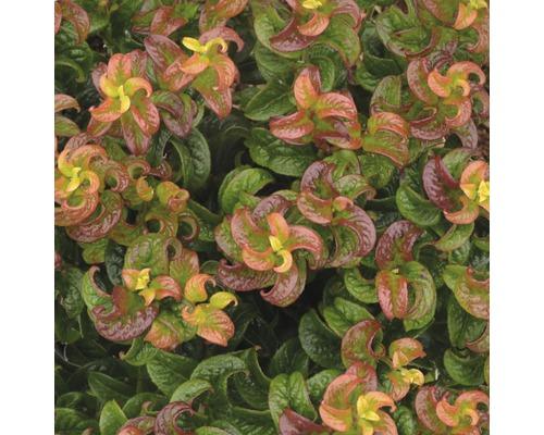 Traubenmyrthe FloraSelf Leucothoe axillaris ''Twisting Red'' H 30-40 cm Co 6 L