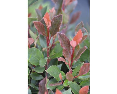Glanzmispel FloraSelf Photinia fraseri ''Chico'' H 30-40 cm Co 2,8 L