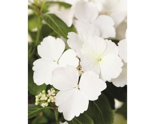 Hortensia guirlande FloraSelf Hydrangea Runaway Bride ® ''Snow White'' h 40-50 cm Co 3,5 l Édition 30 ans FloraSelf