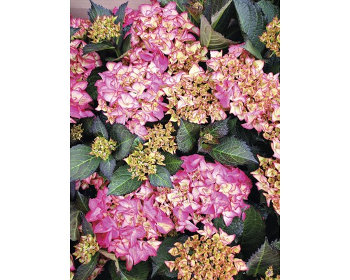 Hortensia FloraSelf Hydrangea macrophylla ''Red Angel'' h 30-40 cm Co 6,5 l