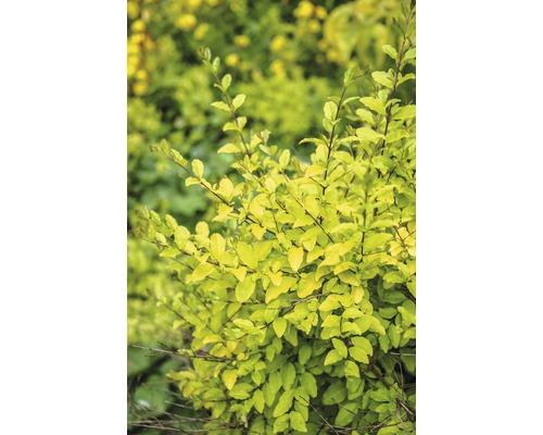 Liguster FloraSelf Ligustrum ovalifolium ''Lemon and Lime'' H 50-60 cm Co 4,5 L