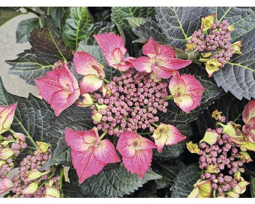 Hortensia FloraSelf Hydrangea macrophylla ''Dark Angel Red'' h 30-40 cm Co 6,5 l