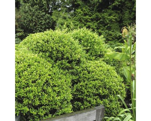 Houx crénelé boule FloraSelf Ilex crenata ''Stokes'' H25-30 cm Co 4,5 L