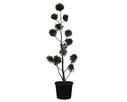 Cyprès de Leyland PonPon FloraSelf Cupressocyparis leylandii H 150-170 cm Co 30 l