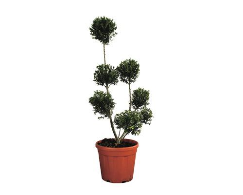 Houx crénelé mini PonPon FloraSelf Ilex crenata ''Kinme'' h 80-100 cm co 12 l
