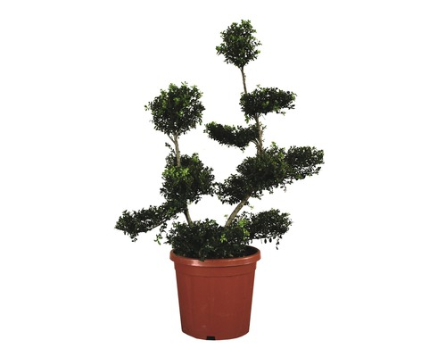 Houx crénelé mini bonsaï FloraSelf Ilex crenata ''Kinme'' H80-100 cm Co 12 L